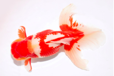 金魚で遡る日本人の起源。金魚の先祖のフナの起源は中国揚子江に加えてアムール川だった。バイカル湖が近づきワクワクする。